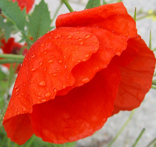 poppy petals natural remedies