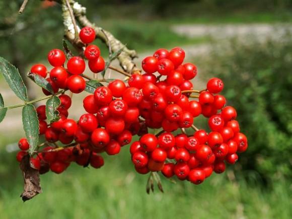 mountain_ash_fruit natural remedies pocket guide